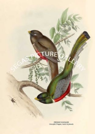 TROGON ELEGANS - Graceful Trogon, male & female